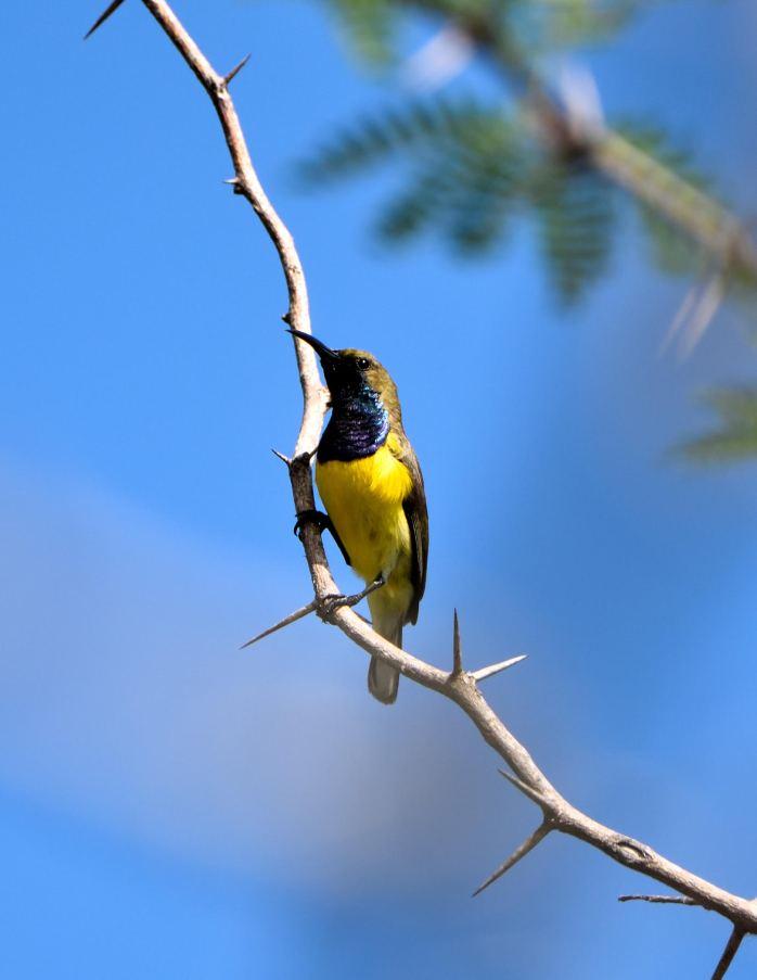 Olive-backed sunbird (Photo by Joebert Gobway)