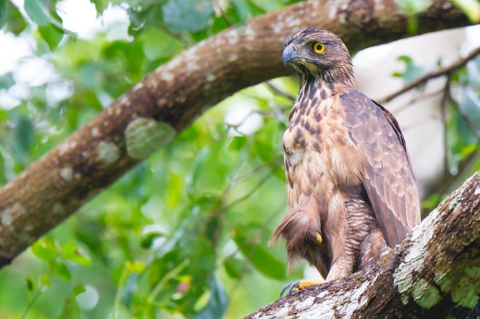 Philippine hawk-eagle (Photo by Jhovienel Capicio)